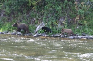 black bear fly fishing montana adventure yellowstone national park