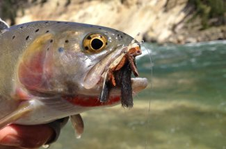 dry fly rainbow trout montana guided fly fishing