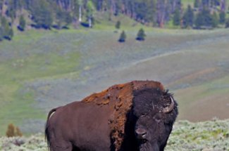 yellowstone national park fly fishing bison
