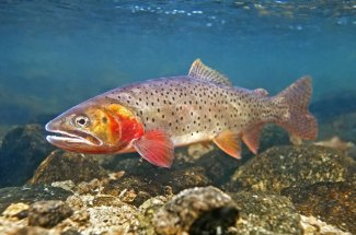 Yellowstone National Park Fly Fishing Montana Guide