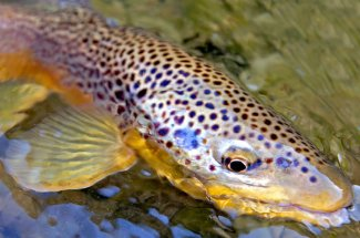 Colorful Brown trout fly fishing montana guide yellowstone national park