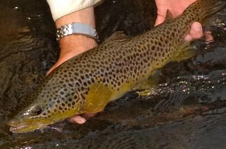 released brown trout fly fishing montana catch and release yellowstone park
