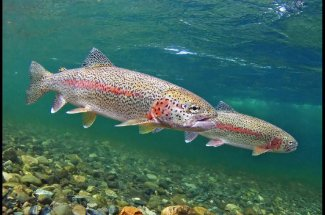 Montana Rainbow trout fly fishing yellowstone national park guided trips montana