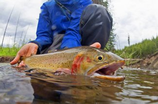 releasing cutthroat trout fly fishing Montana yellowstone national park