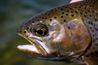 upclose rainbow trout montana fly fishing guided adventure trip yellowstone national park