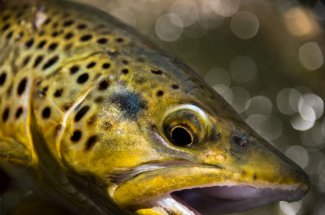 upclose shot of montana brown trout fly fishing yellowstone national park montana