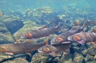 Guided Montana Fly Fishing Cutthroat Trout Yellowstone