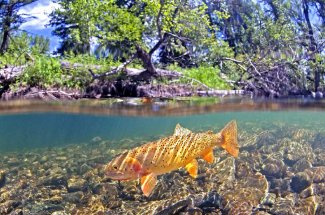 Cutthroat Trout Montana Fly fishing Guided trips