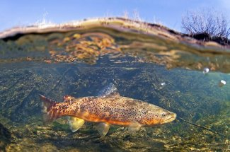 Underwater brown trout Montana fly fishing yellowstone national park guide