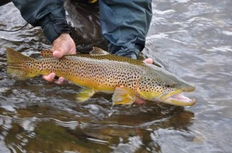 huge brown trout yellowstone national park fly fishing guide trip