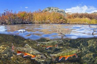 Montana Brook trout fly fishing adventure yellowstone national park