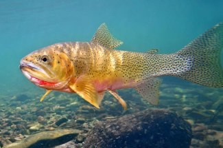 guided fly fishing yellowstone national park cutthroat trout montana