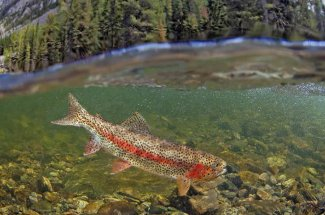 red stripe rainbow trout yellowstone national park montana fly fishing
