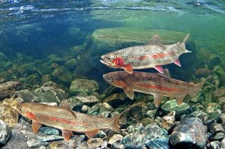 schooled up rainbow trout montana yellowstone national park fly fishing guided trips