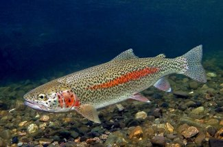 Fly Fishing for Rainbow Trout in Montana