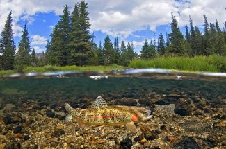 Montana Fly Fishing on the Thompson River